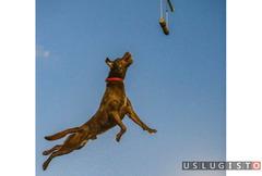 Дрессировка крупных пород собак Москва